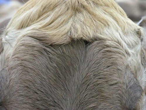 Posté par ernscht ۞  sur 2007-10-07 21:43:18      Tagged:  , vechschau , kuh , cow   …