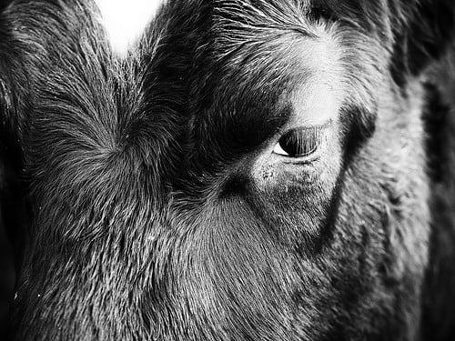 Posté par real ramona  sur 2017-11-13 10:19:56      Tagged:  , cows , cattle , eye , eyball , animal , fur   …