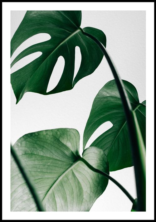 Lura Decor – Design Escandinavo – Pôster Costela de Adão (Monstera)